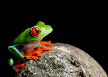 Green frog with red eyes sitting on a stone black background