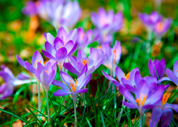 Purple crocus blooming in spring on meadow