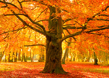 Big trees falling leaves shining red in the sun in fall