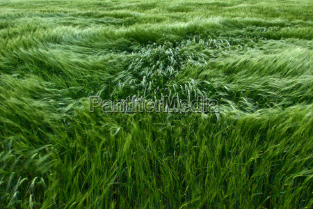 barley, in, the, wind - 84320