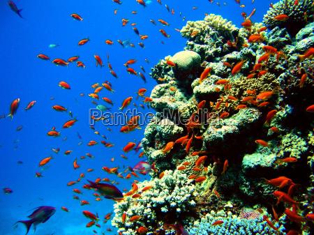 tilefish, on, coral, block - 117337