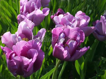 tulip - 118837