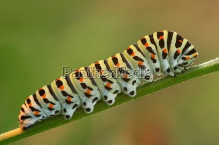 caterpillar, of, the, swallowtail - 137139