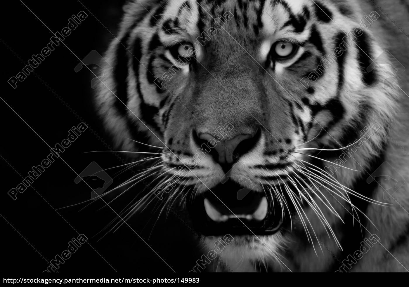 tiger, portrait, 1 - 149983
