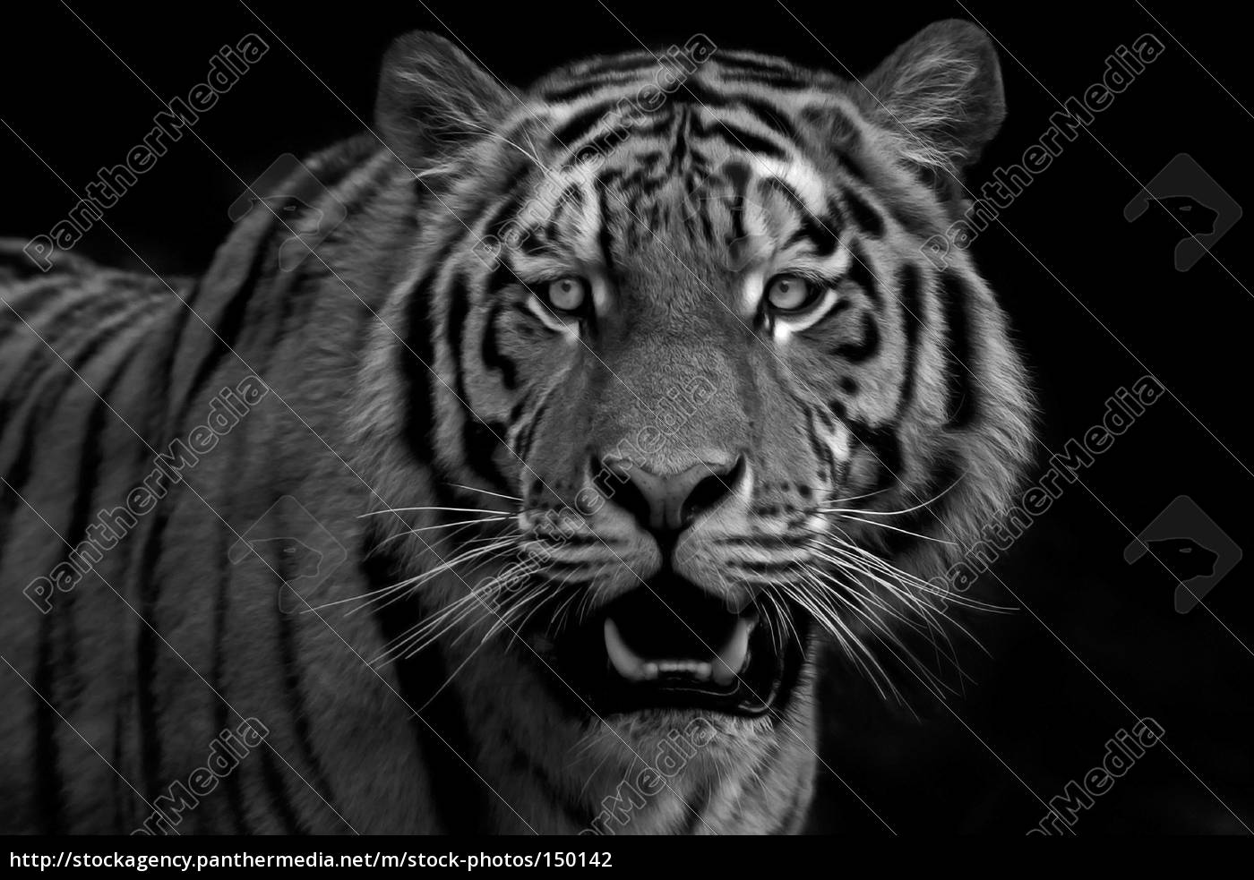tiger, portrait, 2 - 150142