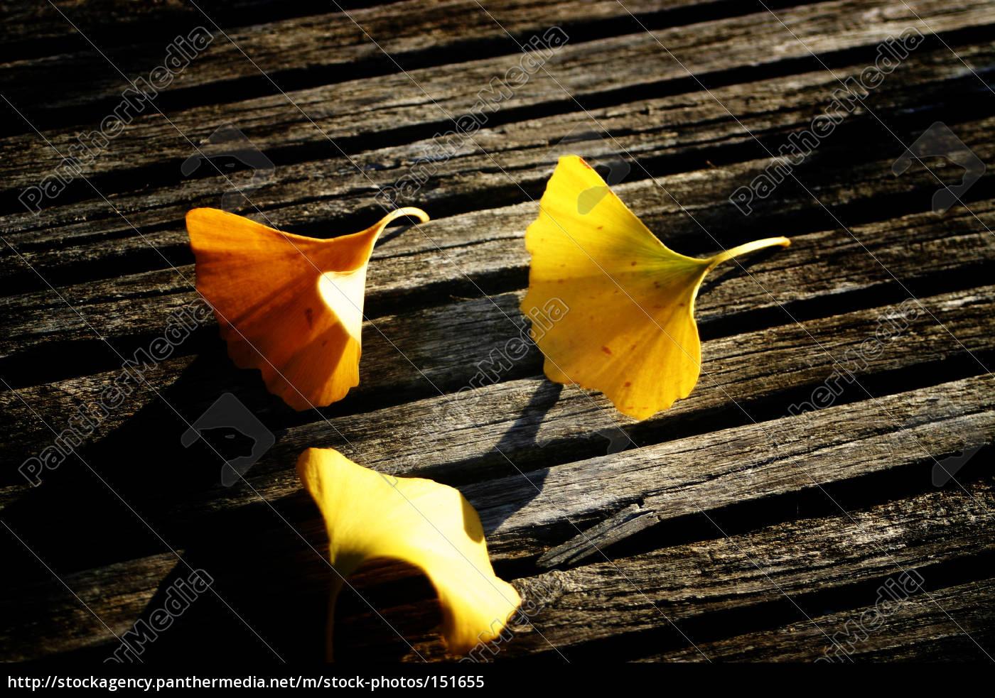 ginkgo, leaves, on, wood - 151655
