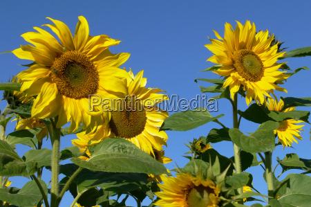 sunflower, iii - 151180