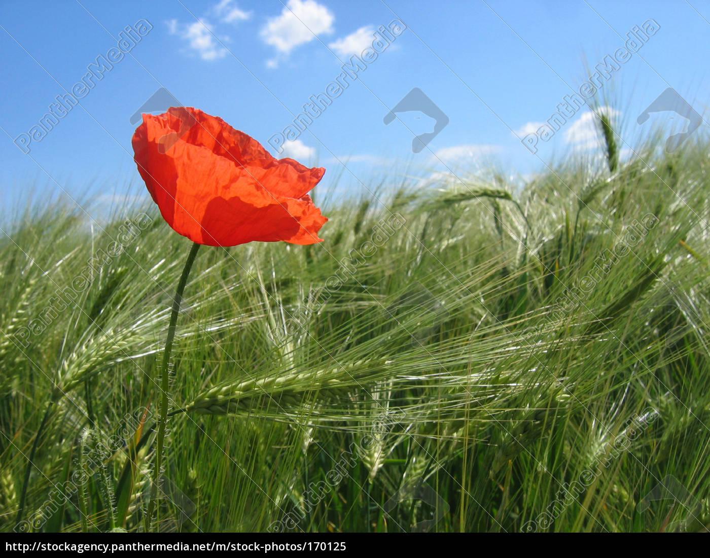 poppy, on, the, field - 170125