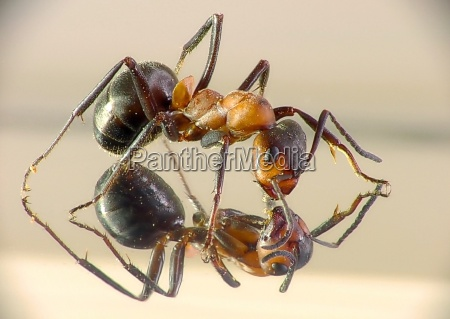 ant, in, the, mirror - 174025