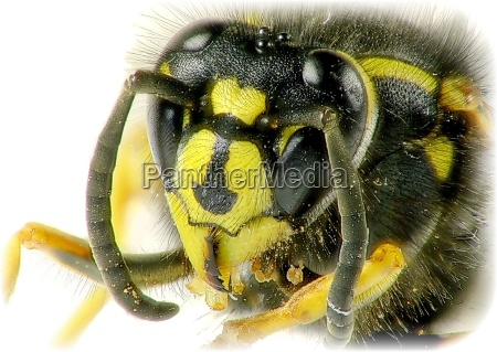wasp, portrait - 174697