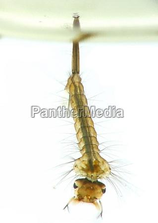 mueckenlarve