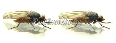 fruit, fly, (3d, cross, eyed) - 178643