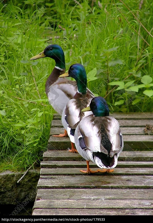 ducks, march - 179533