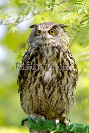 eagle, owl - 186056