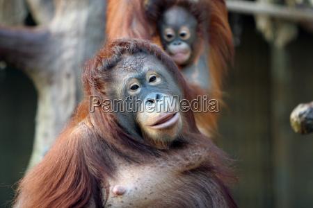orangutan - 202722