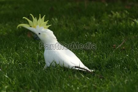 kakadu, in, grass - 205936