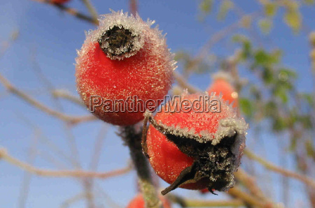 winter cold frost fruit hoarfrost haw