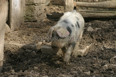 spotted, domestic, pig - 208000