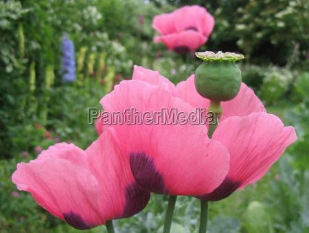 garden blossoms poppy plant bed gardens
