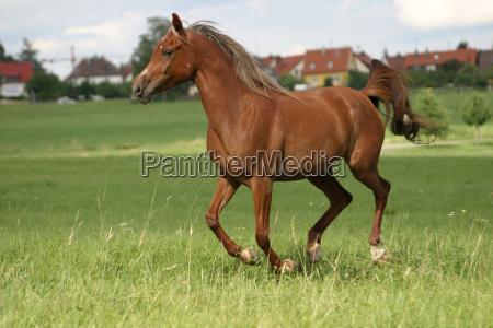 arabs, galloping - 218631