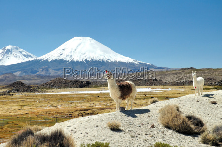 alpacas, in, front, volcano - 219589