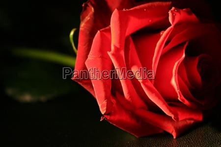 rose - 220200