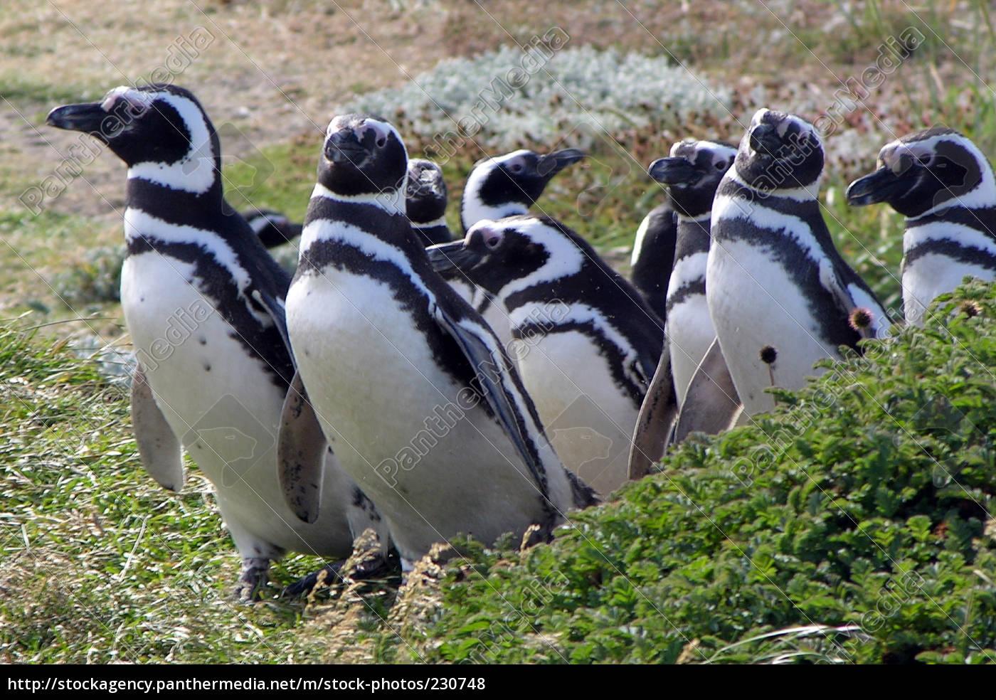 magellan, penguins - 230748