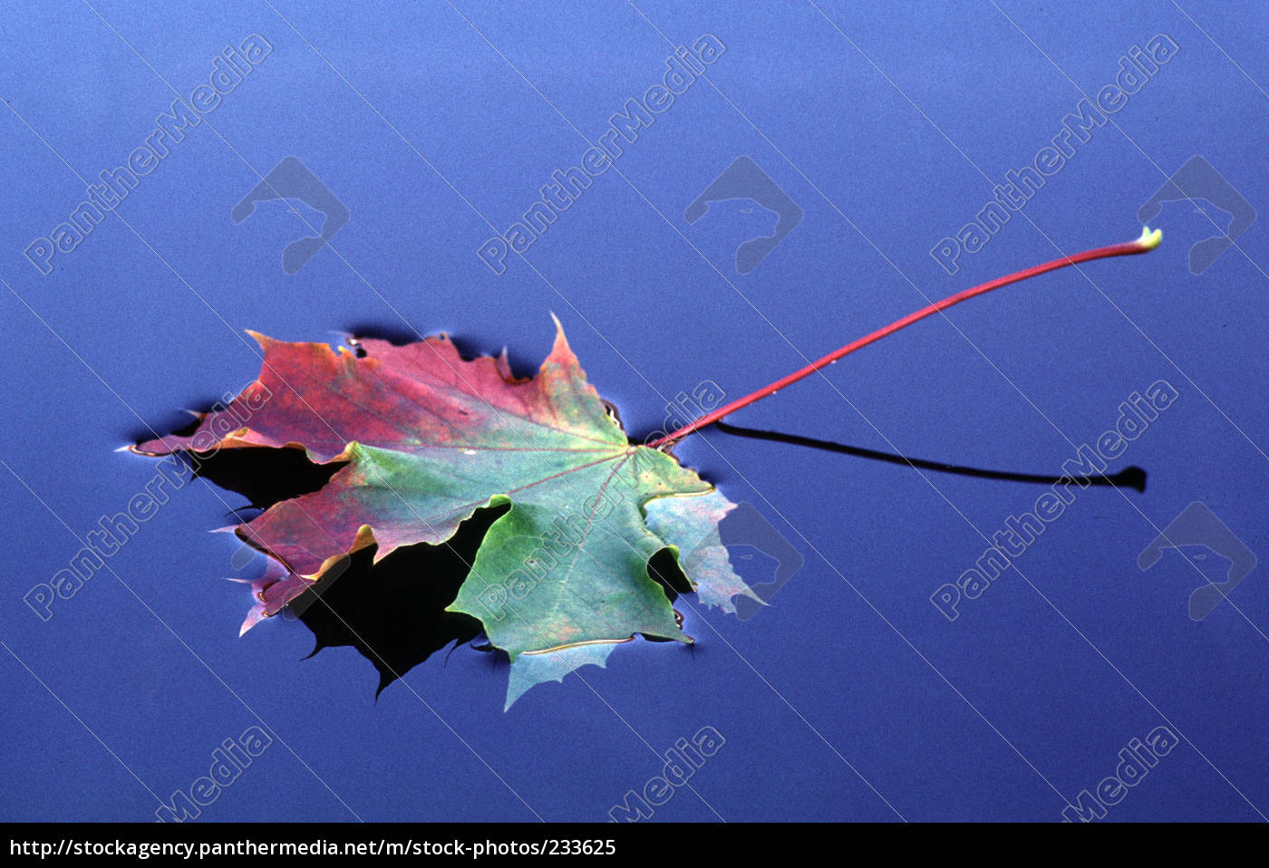 maple, leaf, on, water - 233625