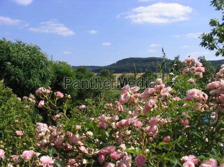garden summer summerly distance roses sight