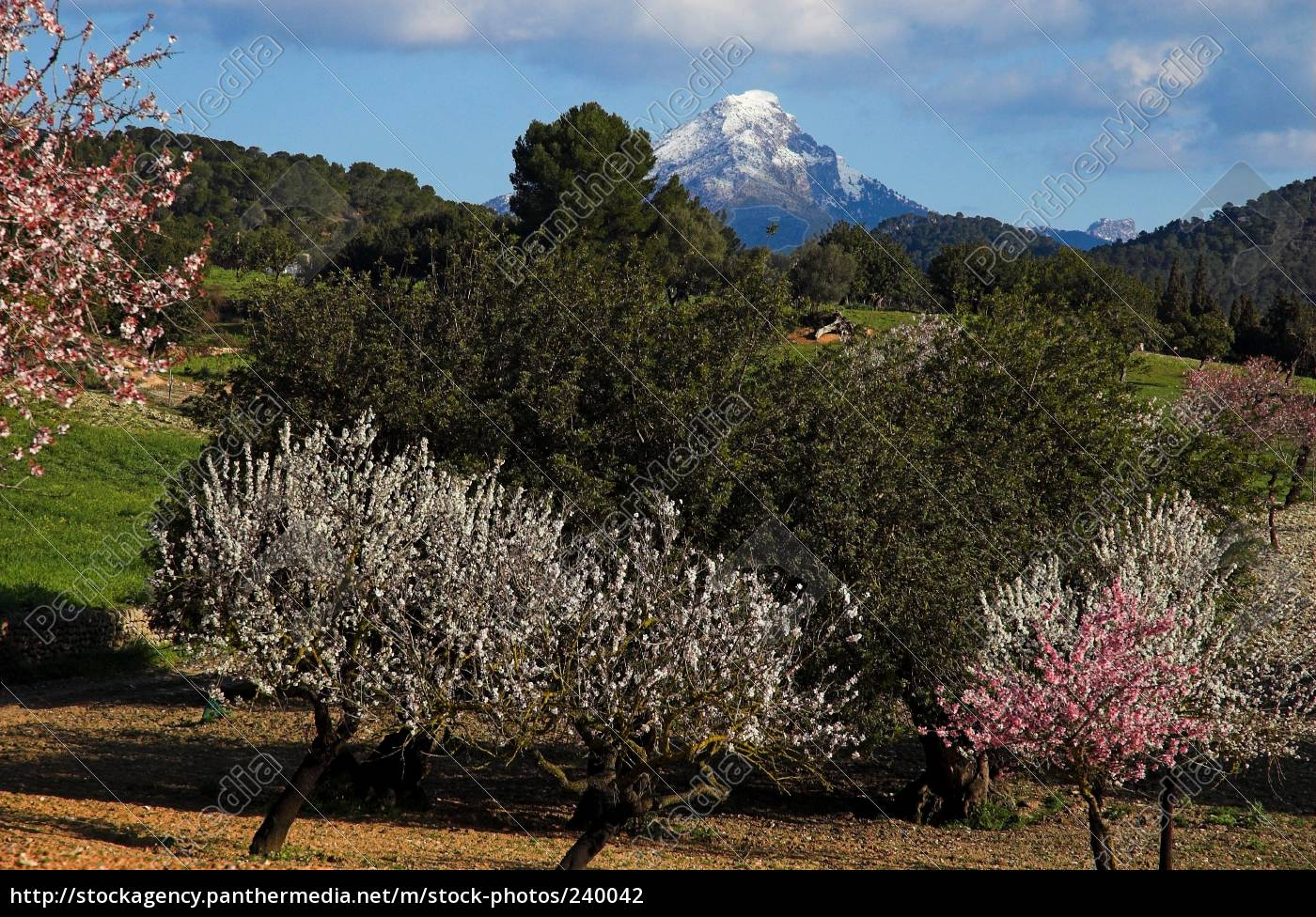 almond, blossom, on, majorca - 240042