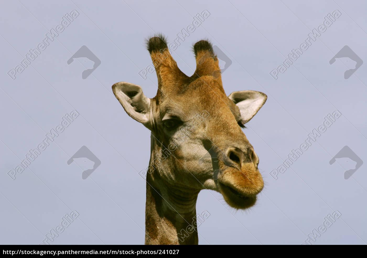 giraffe - 241027