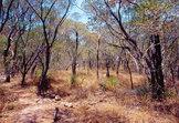 eukalyptuswald in australien