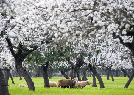 almond blossom with sheep
