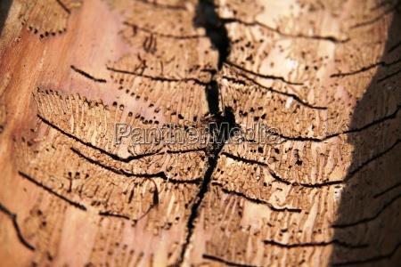 bark beetles victims