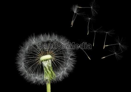 dandelion - 303586