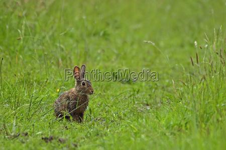 wild rabbit oryctolagus cuniculus