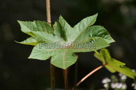 leaf means agent medicine drug remedy