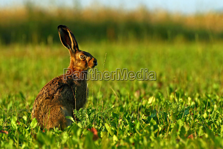 hare in evening light