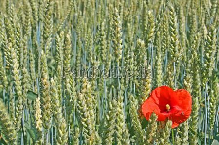 field grain poppy corn field cereal