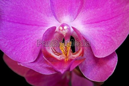 erotic phaleonopsis