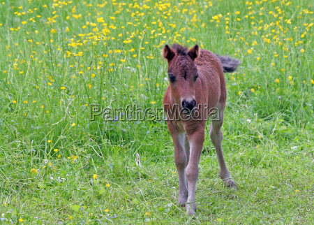 young stallion on spring meadow