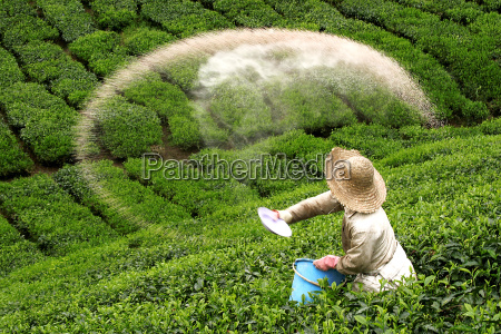 bauer scatters fertilizer on green tea