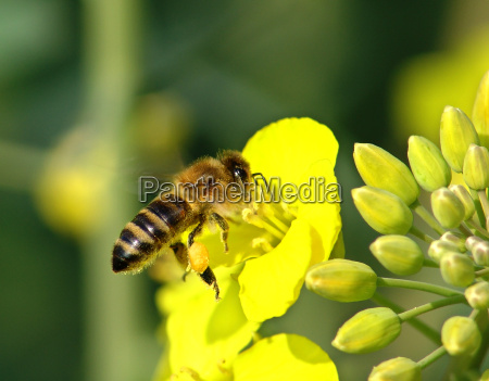 bee on rape flower