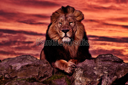 sunset and lion
