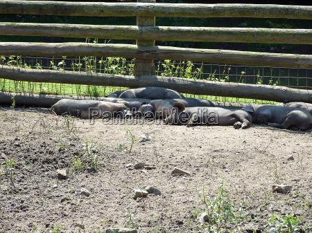 animal cerca recuperacao lama fazenda leitao