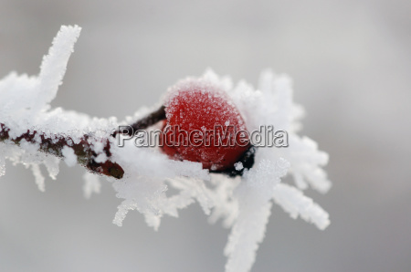 wildrose im winter