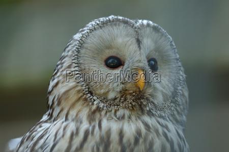 feathering head habichtskauz