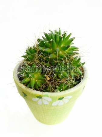 green, prickle, sting, cactus, flowerpot, pot - 1290371