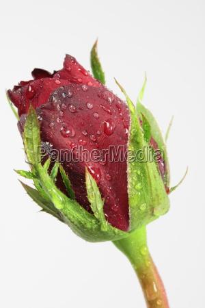 detail einer roten rose