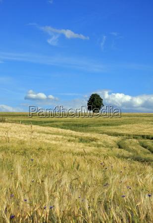 linde im kornfeld